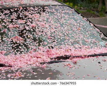 Shower of pink cherry blossom petals on automobile car windshield in spring