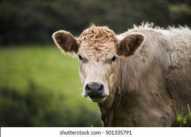 Showing a cow in a devon field in the summer