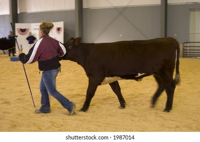 Showing cows at a county fair