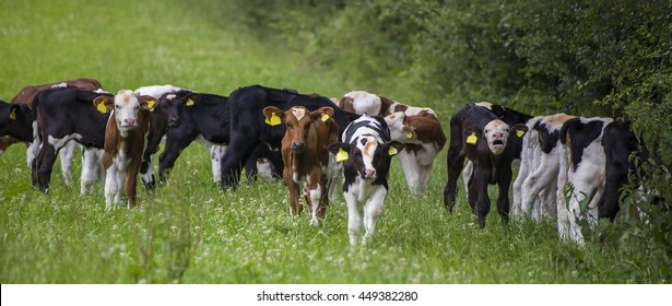 Showing a group of Dairy cows in a field . .