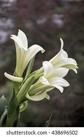 Showing a group of white lilys .