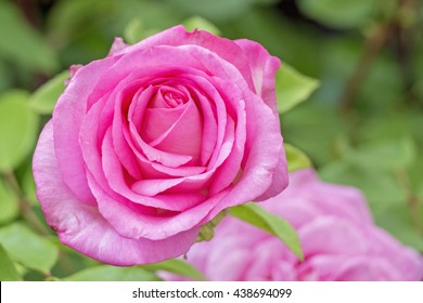 Showing a vibrant pink rose up close .