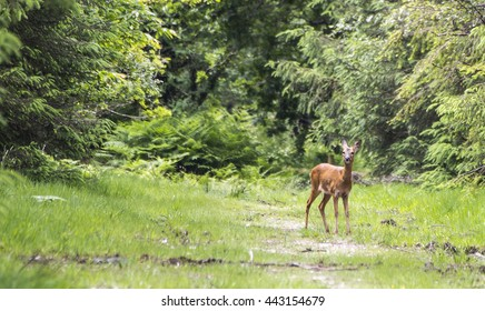 Showing a wild deer at the Haldon forest by Exeter