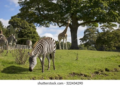 Showing a zebra in a rural setting .