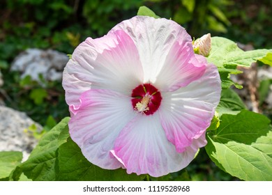 Show-stopping  supersized hibiscus flower in full bloom in swirling shades of pink rose and cranberry red with blurred greenery and rocks behind