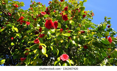 Showy and beautiful red camellia - Camellia japonica tree in bloom, known as common camellia or Japanese camellia.