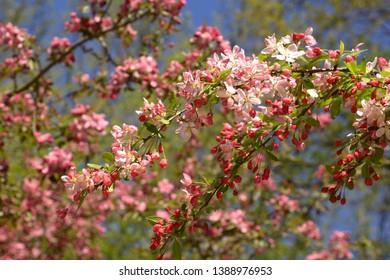 showy crabapple flowers in front of azure sky as spring theme background, malus floribunda or japenese crab or purple chokeberry in spring