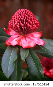 The showy flowers of the waratah consist of many small flowers densely packed into conical or peaked dome-shaped heads.  The waratah means beautiful or handsome.  NSW flower emblem