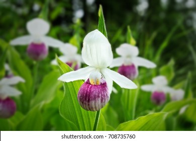 Pink lady slipper images stock photos vectors shutterstock showy ladys slipper cypripedium reginae aka pink and white ladys mightylinksfo