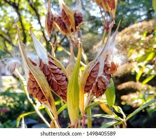 Showy Milkweed Seed Pods Open