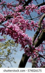 Showy redbud tree blooming in spring against a blue sky