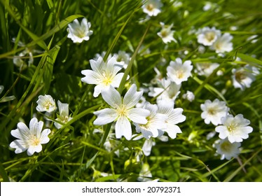 Showy White California Wildflower Douglas' Meadowfoam, Limnanthes douglasii