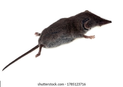 Shrew in closeup on white background