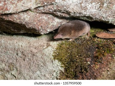 Shrew Foraging Between Rocks