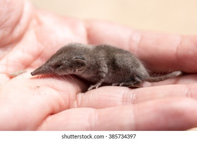 shrew mouse