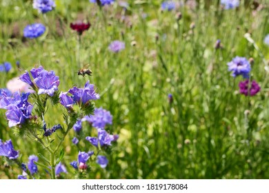 Shrill carder bee flying above viper's bugloss flowers - copy space on cornflowers in the background
