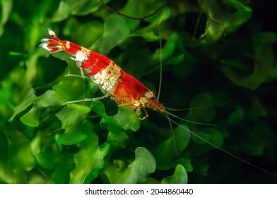 Shrimp Cardina sp.Crystal Red