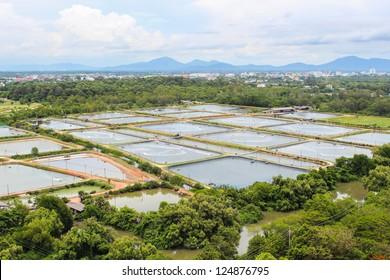 The Shrimp farming in thailand