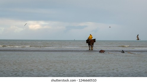 Shrimp fisherman with farm horse goes fishing in the North Sea, Belgium