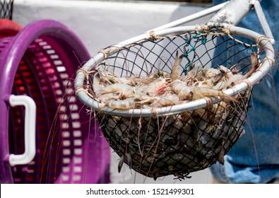 Shrimp fishing net full of shrimp, isolated.