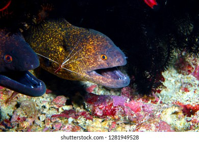 The shrimp are important caretakers for the great moray eels