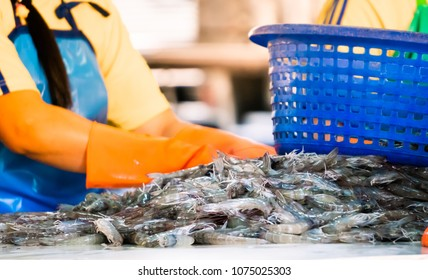 shrimps in production. from shrimp farm to workers sort out separate by size. process in industry.