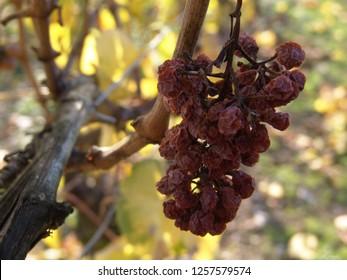 shriveled grape on a vine in autumn
