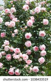 A Shropshire Lad - English climbing rose