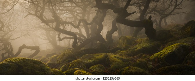 Shrouded in mist, the ancient twisted Sessile Oaks of the woodland at the head of Padley Gorge in the Peak District National Park.