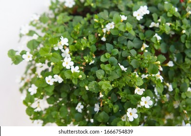 Shrub of bacopa monnieri or brahmi white flowers with white background