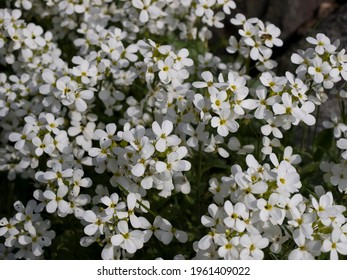Shrub blooming with white flowers.