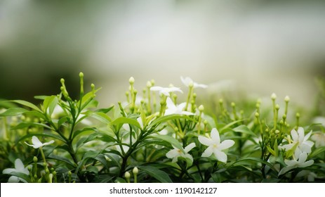 Shrub of blooms and buds of gardenia Crape Jasmine on blurred background