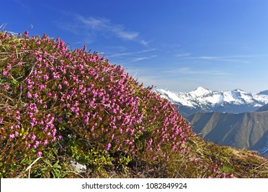 Shrub of Erica carnea (winter heath, winter flowering heather, spring heath, alpine heath) under blue sky in the Tyrolean Alps, Austria. Snow-covered mountains in the background. Selective focus