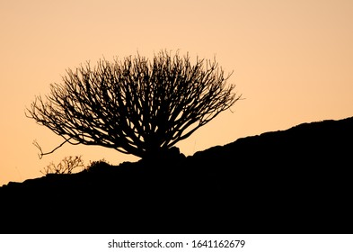 Shrub Euphorbia regis-jubae at sunset. The Nublo Rural Park. Tejeda. Gran Canaria. Canary Islands. Spain.