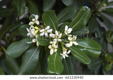 Shrub Fragrant White Flowers Stock Photo Edit Now 661230940