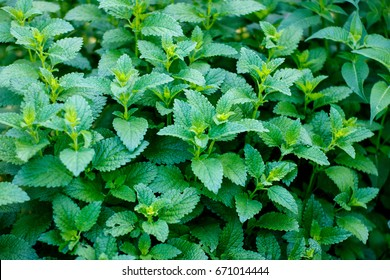 Shrub of fresh green lemon balm in garden