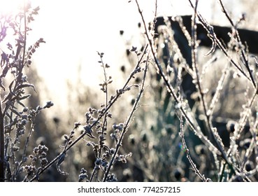 shrub frozen winter sun