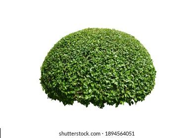 shrub for garden decoration isolated on white background. Green Siamese rough bush dwarfs.