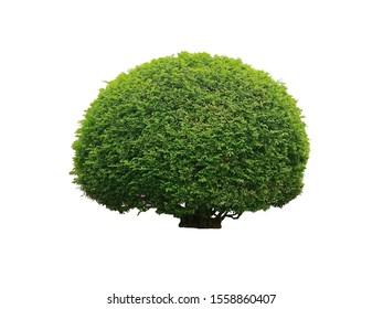 Shrub for garden decoration. Orang Jessamine, China Box Tree, Andaman Satinwood isolated on white background.