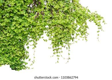 Shrub isolated on white background