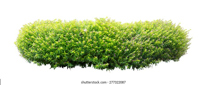Shrub isolated on white background