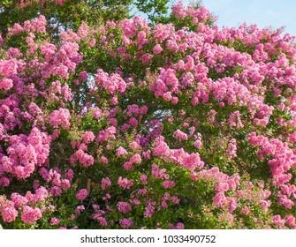 Shrub of Japanese lilac, latin name Syringa Japonica, of pink colour.