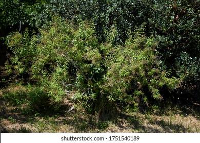 Un arbusto de verbena de limón, Aloysia triphylla o Aloysia citriodora. Arbusto caducifolio que despide un aroma que recuerda a limón.