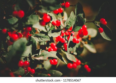 Shrub with lots of red berries on branches. Morning glory. Bush with red berries in garden with soft blurred background. Colorful garden in summer time. closeup, soft toning. Nature concept.