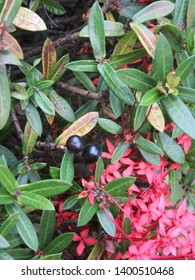 Shrub with pink flowers and black fruits