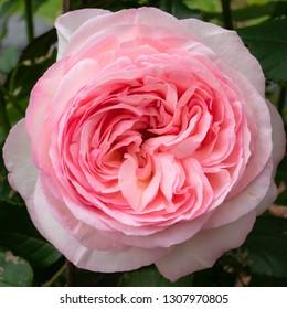 Shrub rose 'Eden rose 85' (Rosa), close up of the flower head