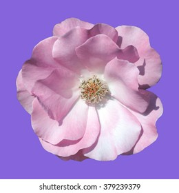 shrub rose, Romanze