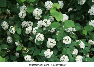 Shrub of spiraea betulifolia tor or birchleaf spirea with white flowers