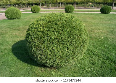 Shrub thuja orientalis in the form of a ball topiary garden. Rounded evergreen decorative tree