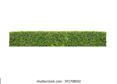 shrubbery bush tree trimming  isolated white background